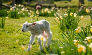 CN2DGT A lamb frolicking in the spring sunshine
