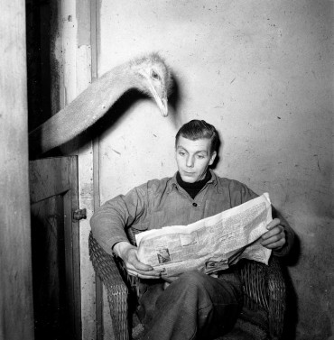 Artis_struisvogel_leest_krant_van_oppasser_-_Ostrich_reads_newspaper_of_caretaker_(3236806056)