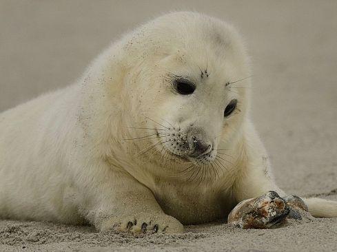 zeehondpup